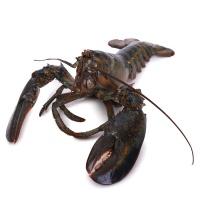 春播活水产美国活龙虾(400-550g)1只装