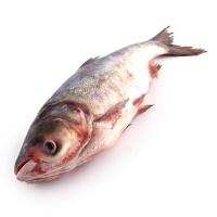 春播订制野生查干湖冬捕胖头鱼2-2.5kg