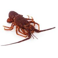 春播活水产澳洲龙虾750-900g
