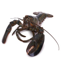 春播活水产美国活龙虾(2000-2250g)1只装